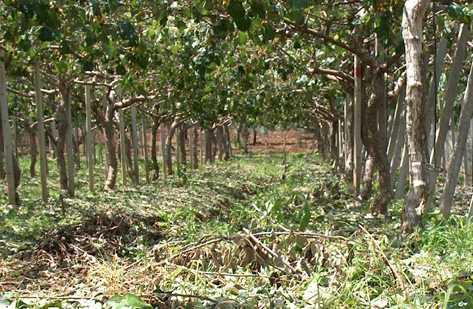 Coltivazione devastata danni ingenti a piano rosso for Kiwi coltivazione