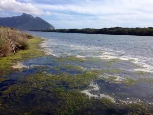 lago sabaudia alghe foto andrea Bazuro