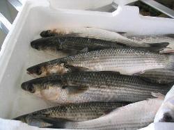 Il pesce calamita del Lago di Fondi