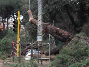 Il pino crollato nei Giardini Pubblici