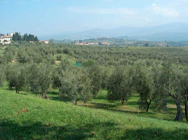 olivo_pianta