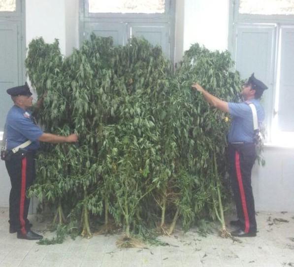 piante marijuana 27 luglio 2015