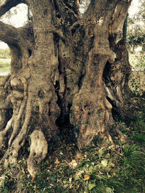 Il tronco dell'olivo Cincinnato