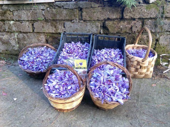 fiori-di-zafferano
